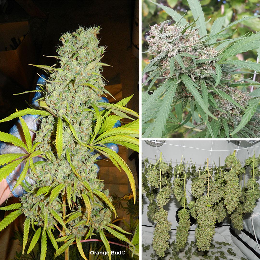 Orange Bud cannabis seeds by Dutch Passion