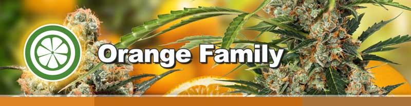 Orange Family of cannabis seeds