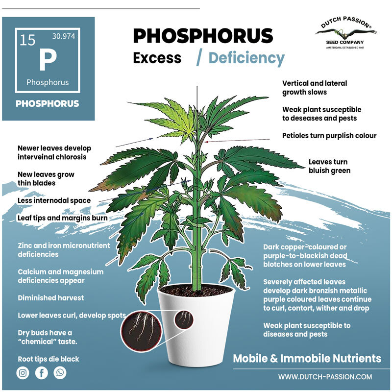 Phosphorus deficiency in a cannabis plant