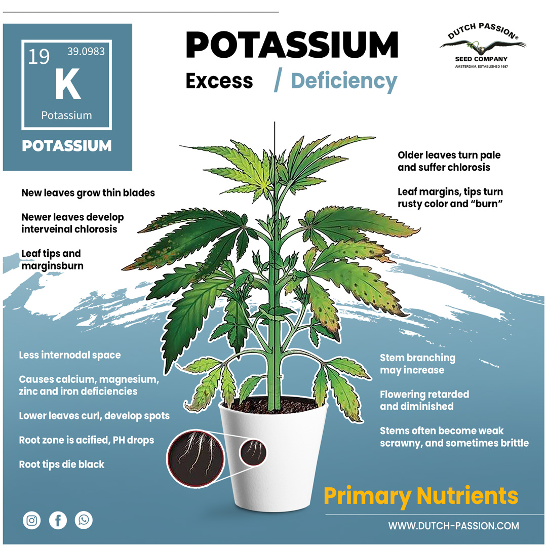 Potassium deficiency in a cannabis plant