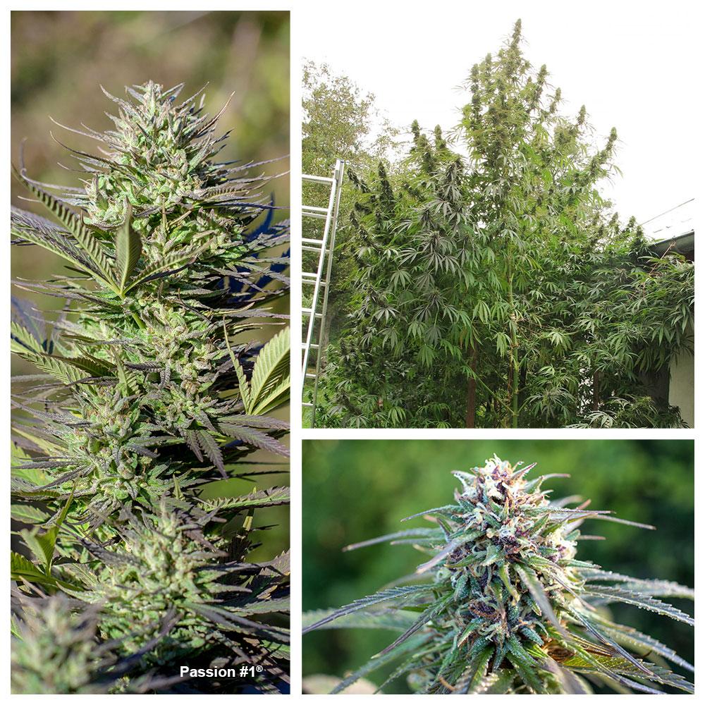 Passion # 1: Indica californienne d'extérieur avec des niveaux élevés de THC