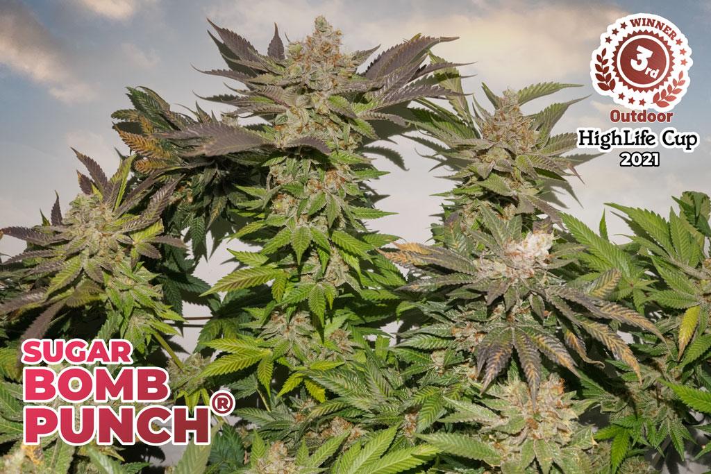 Sugar-Bomb-Punch-cannabis-seeds-online-cup-winner-highlife-cup-2021.jpg