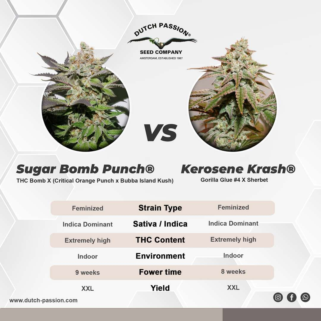 Kerosene Krash vs Sugar Bomb Punch cannabis seeds comparison