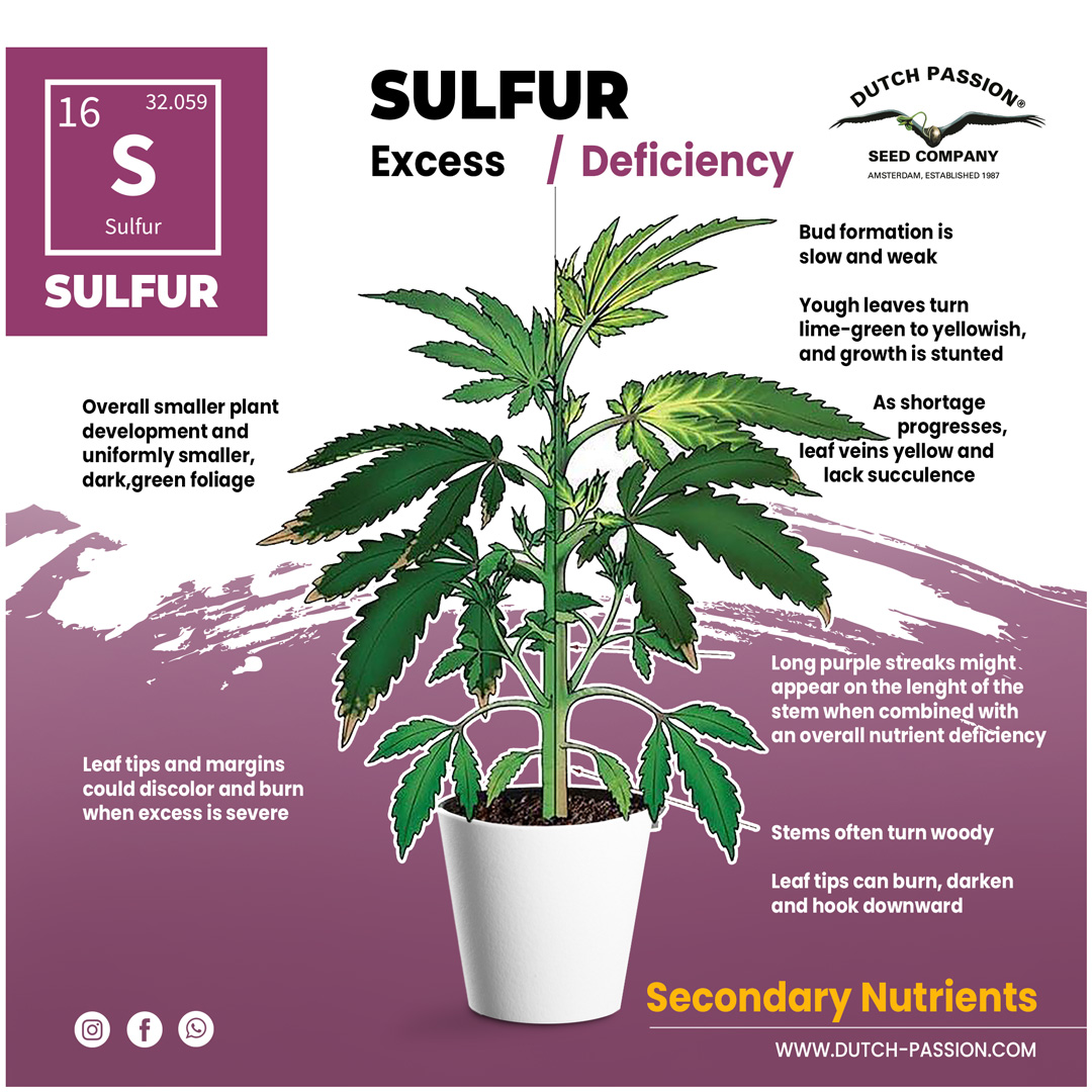 Sulfur deficiency in a cannabis plant