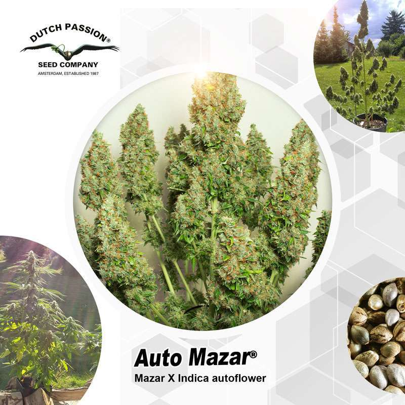 Auto Mazar Outdoor Cannabis Seeds - Dutch Passion