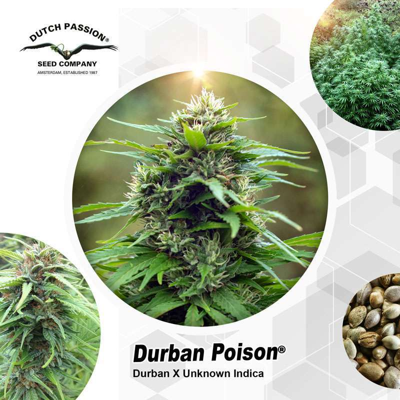 Durban Poison Outdoor Cannabis Seeds - Dutch Passion