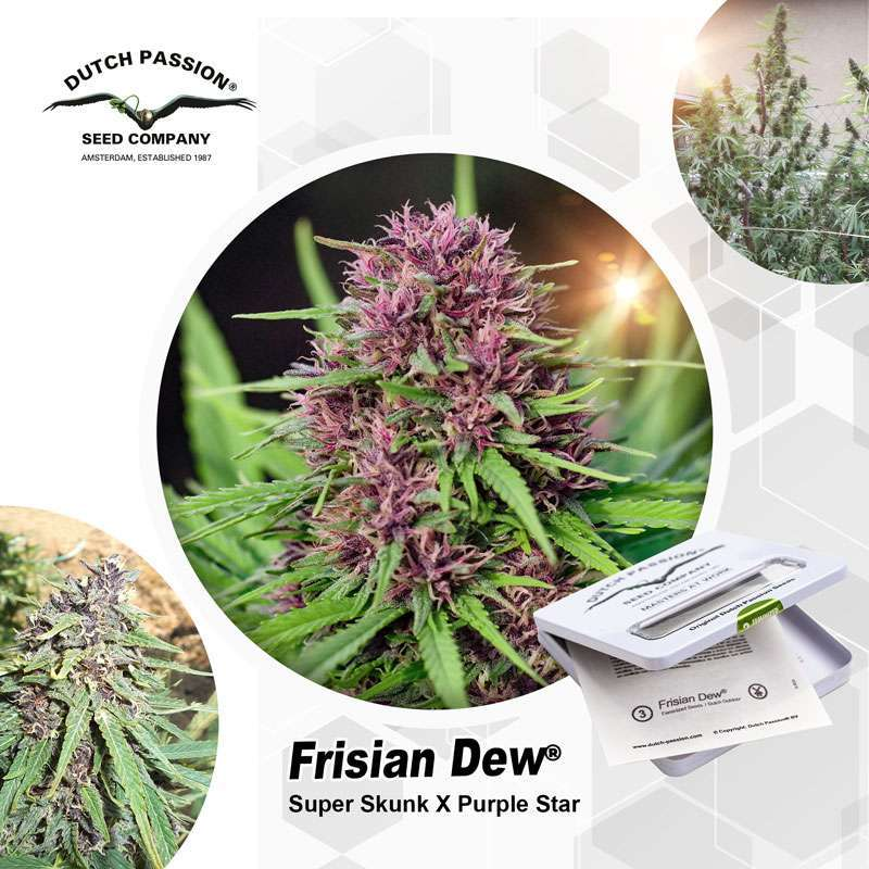 Frisian Dew Outdoor Cannabis Seeds - Dutch Passion