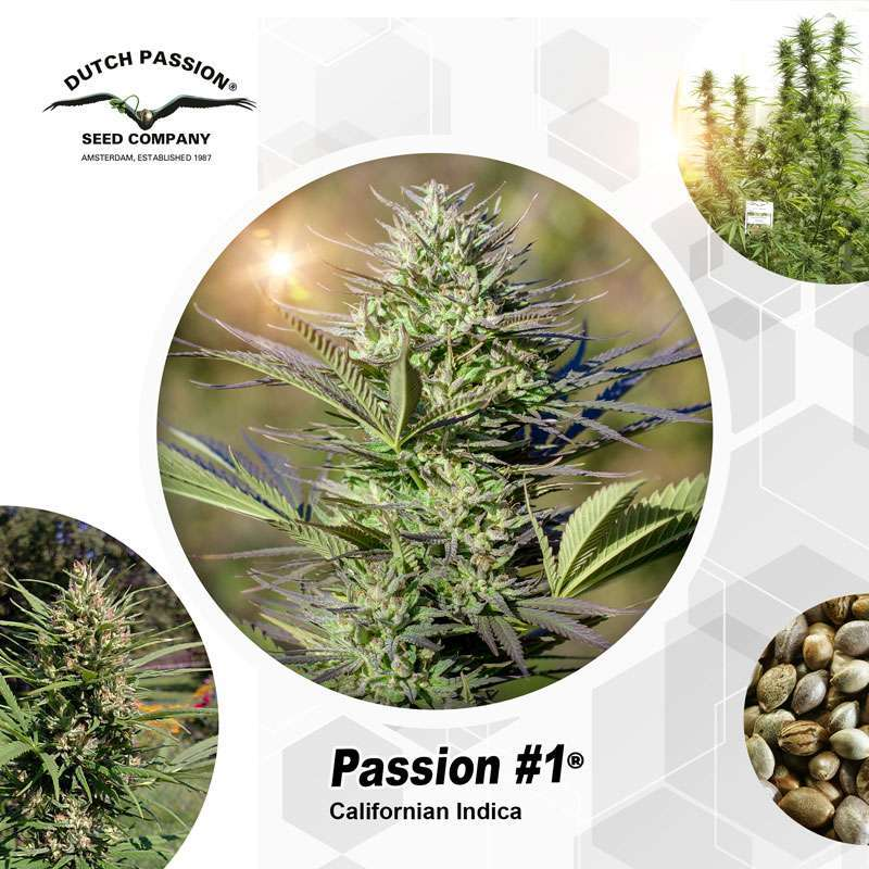Passion #1 Outdoor Cannabis Seeds - Dutch Passion