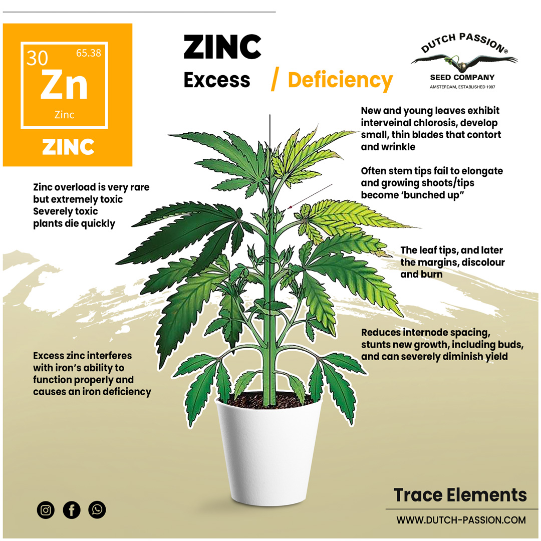 Zinc deficiency in a cannabis plant