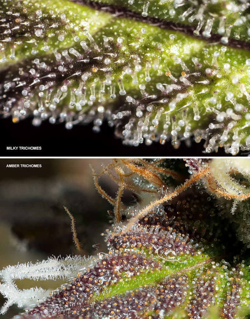 Amber and milky trichomes