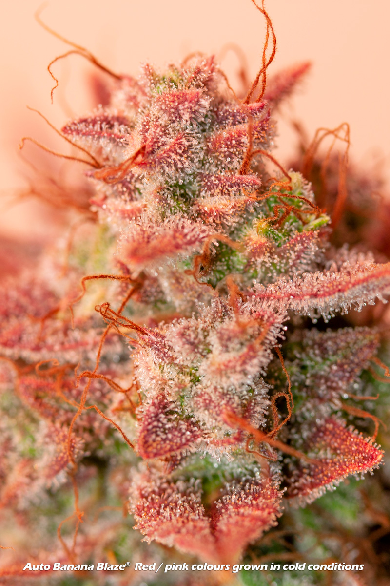 Auto Banana Blaze. Delicious red/pink colours and taste complement a powerful high