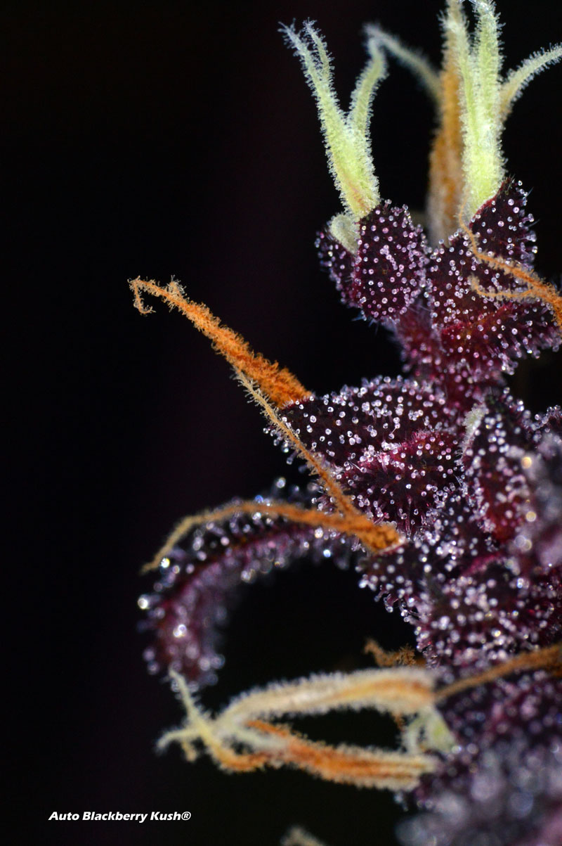 Up-close macro picture of Auto Blackberry Kush