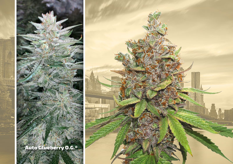 dutch-passion-cannabis-seed-company-top-5-autoflower-strains-glueberry-og