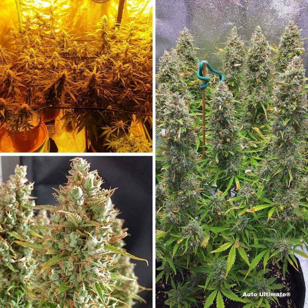 auto-ultimate-autoflower-cannabis-seeds-scrog-growing