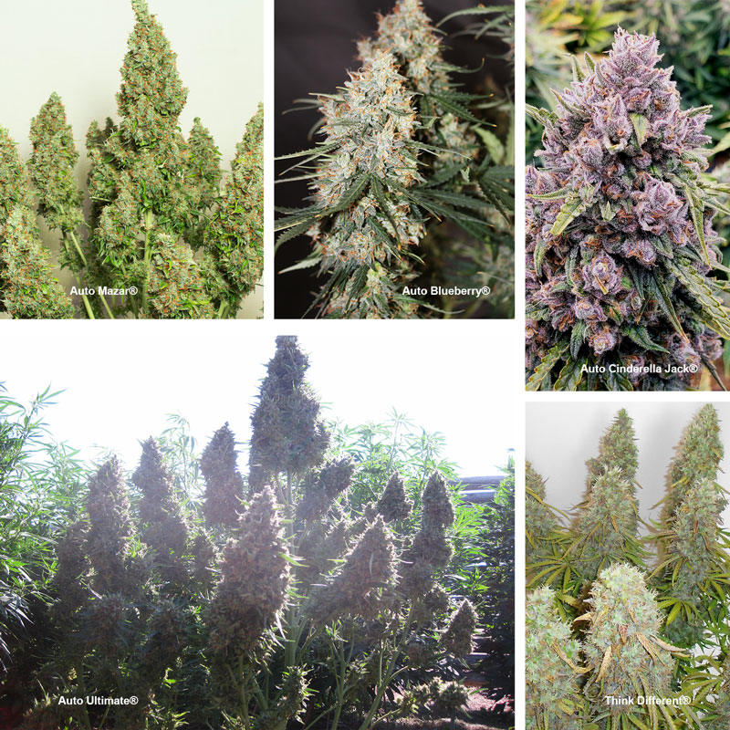 Autoflowering landrace strains