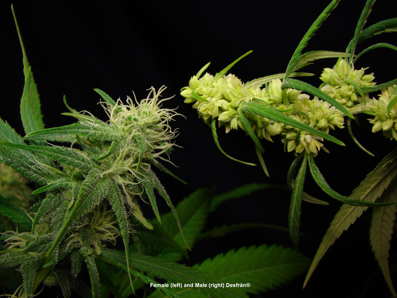 Both male and female faces of Desfran cannabis strain