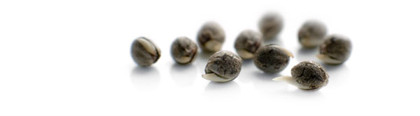 Buy cannabis seeds from Dutch Passion