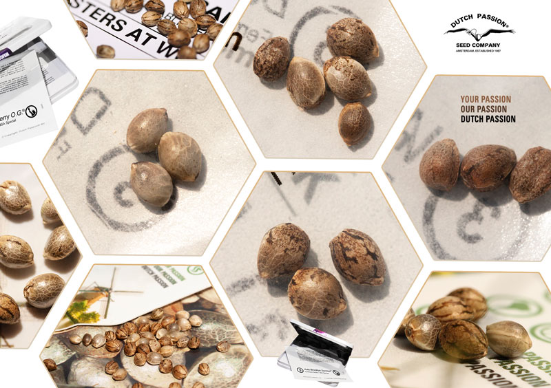 close up of Dutch Passion Cannabis Seeds