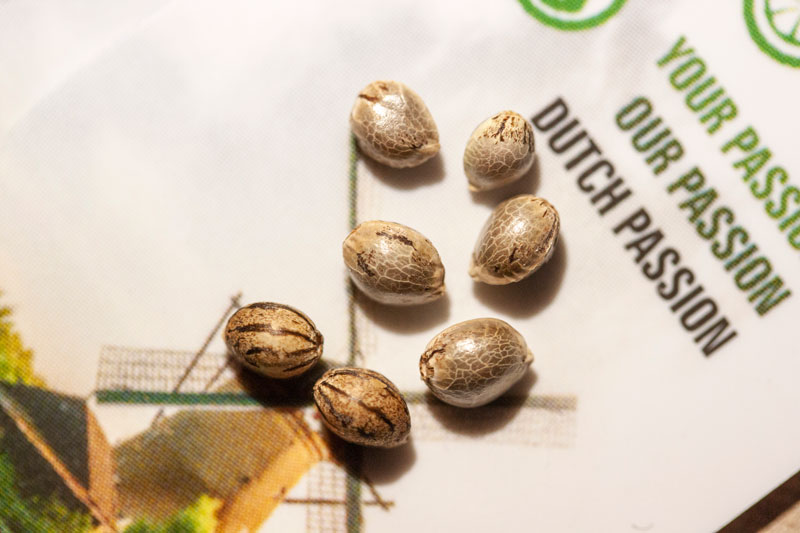 Picture of Dutch Passion cannabis seeds