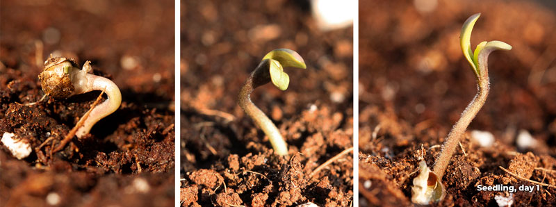 Cannabis seedling stage (2-3 weeks)