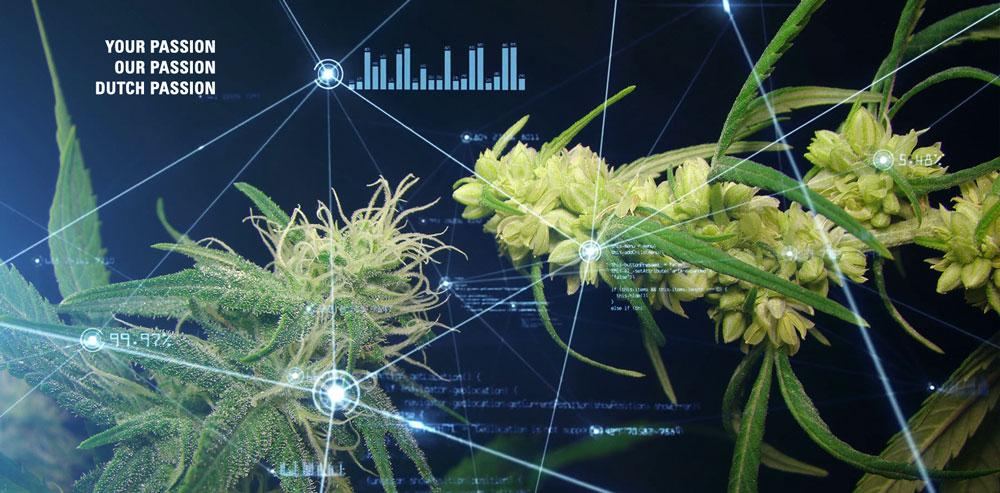 Cannabis seeds genetics explained