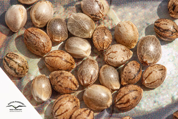 Dutch Passion cannabis seeds under the sun