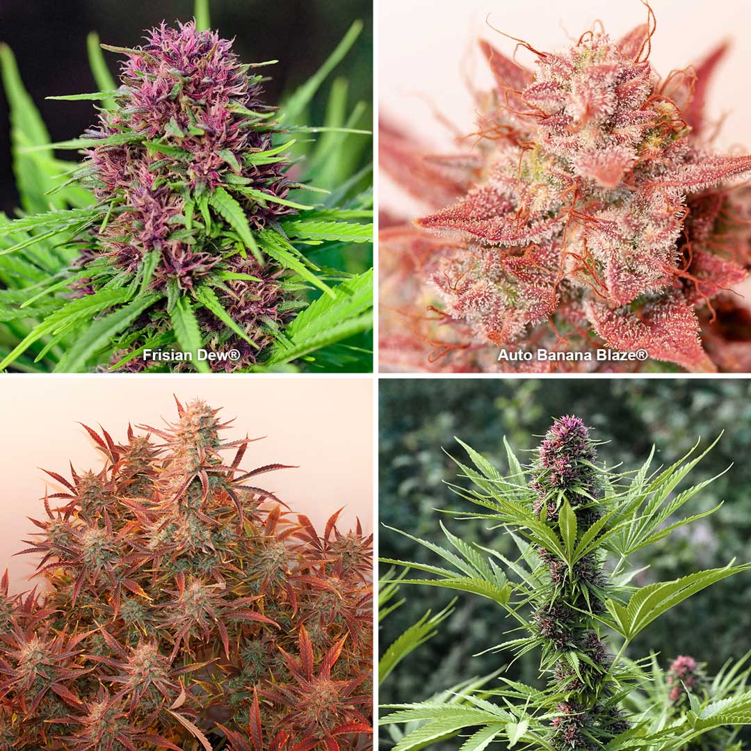Red and pink cannabis strains