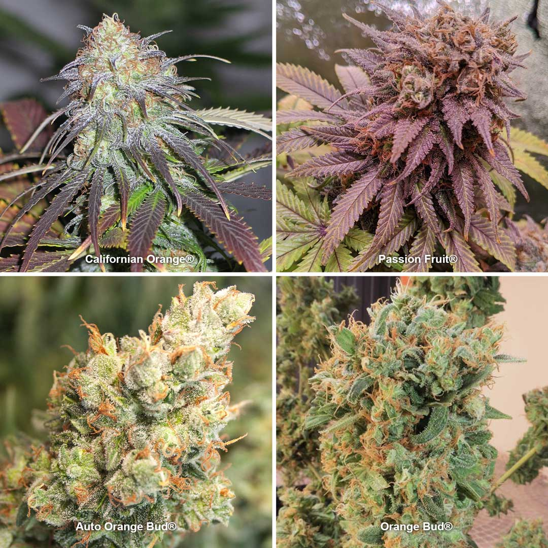 Yellow and orange cannabis strains