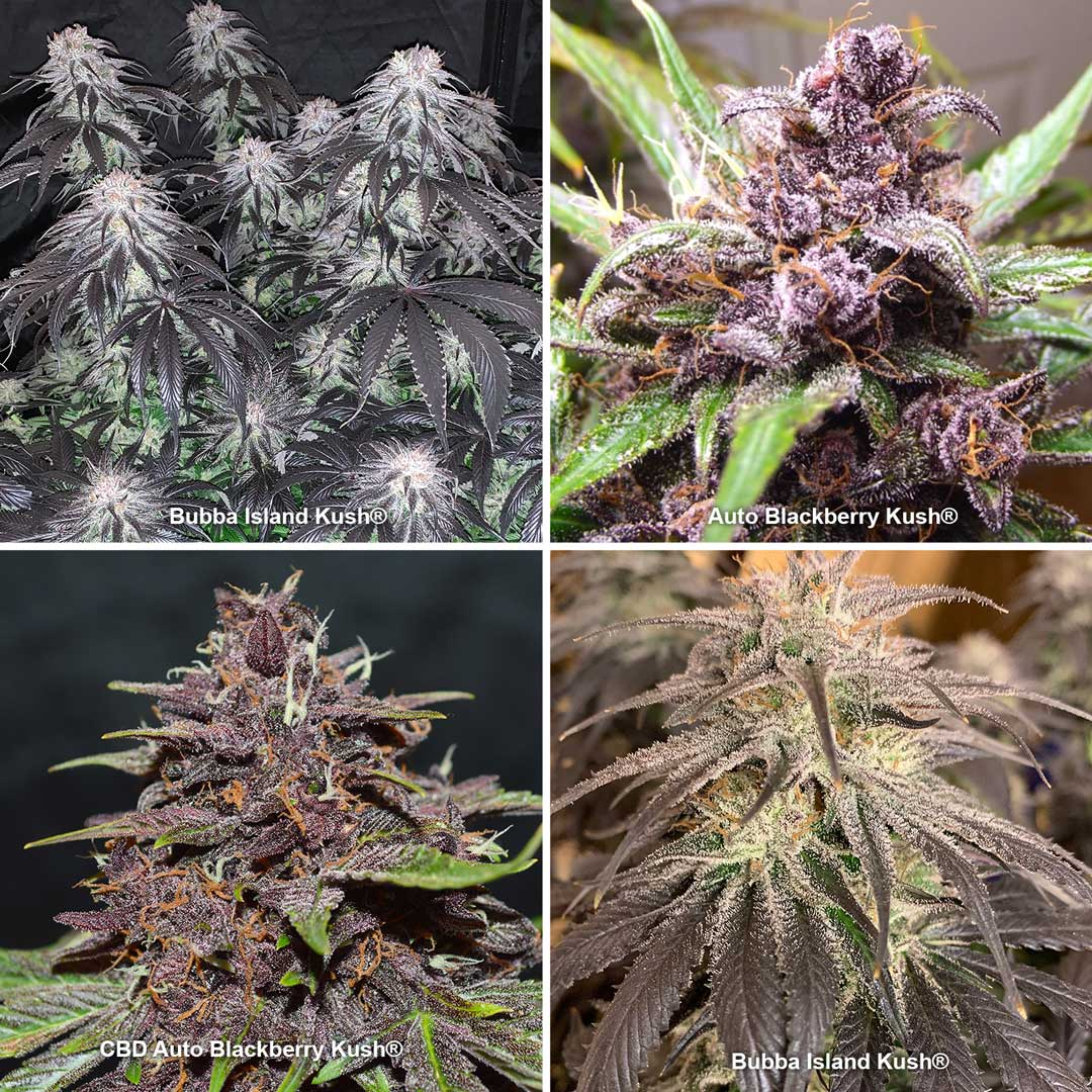 Black and dark cannabis strains