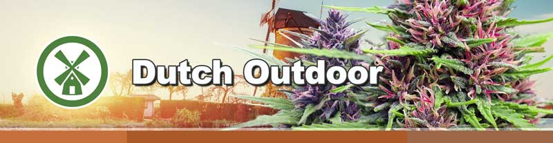 Dutch outdoor cannabis seeds