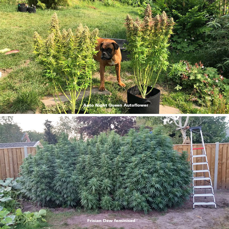 Autoflower vs feminised outdoor grow