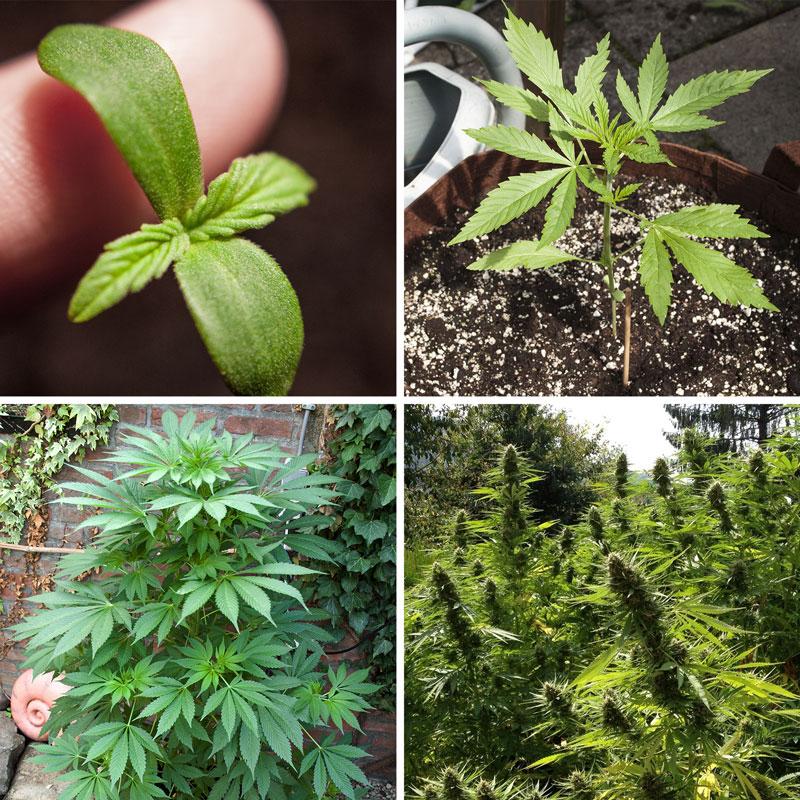 The four stages of the cannabis plant lifecycle (germination, seedling, veg, bloom)