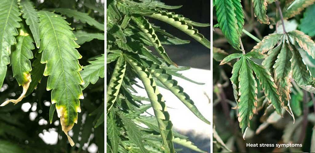 Cannabis showing heat stress symptoms