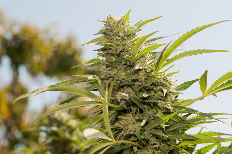 dutch-passion-cannabis-seed-company-top-5-indica-varieties-jorges-diamonds