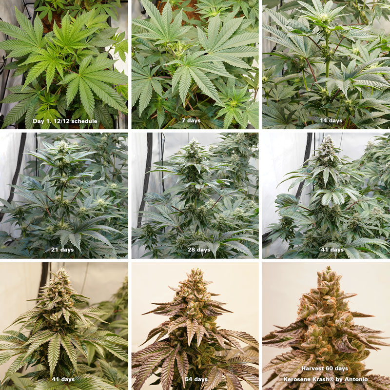 Kerosene Krash week by week in flowering stage