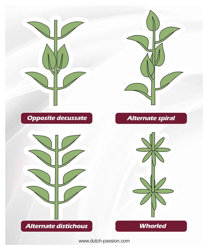 Cannabis leaf phyllotaxy