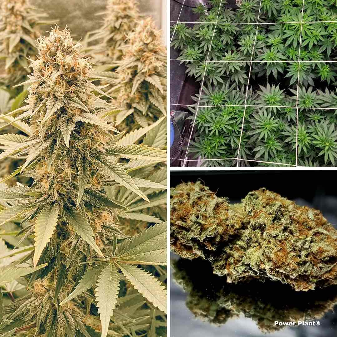 power-plant-feminised-cannabis-seeds-scrog-growing