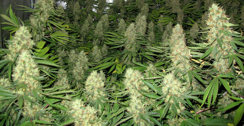 dutch-passion-cannabis-seed-company-power-plant-one-of-the-best-sativa-dominant-varieties