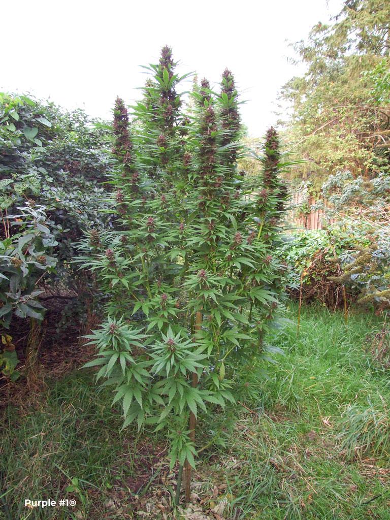 Purple #1 in a shaded garden