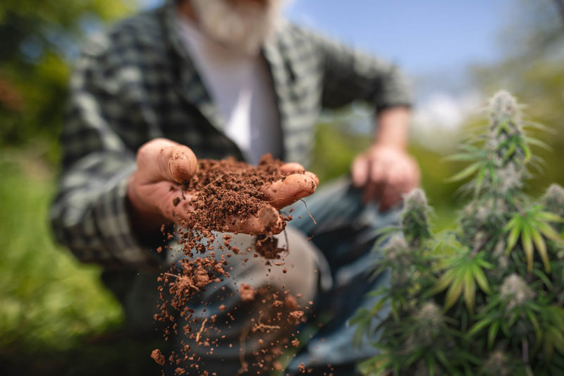Choose the most resistant cannabis seeds for your garden