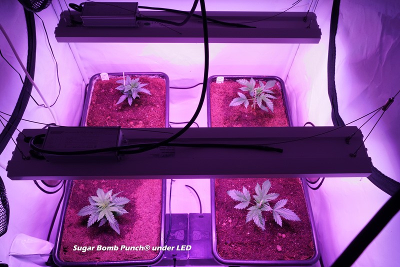 Sugar Bomb Punch plants grown under LED