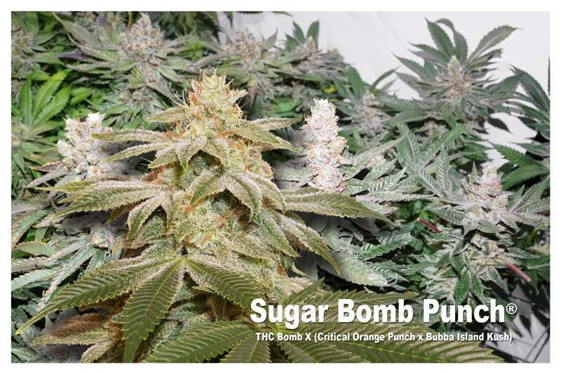 Sugar Bom Punch - THC Bomb X (Critical Orange Punch X Bubba Island Kush)
