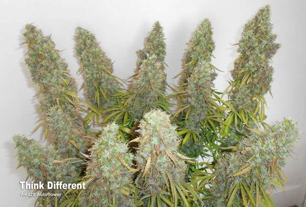 Think Different: Stunning Yields and Very Strong Weed