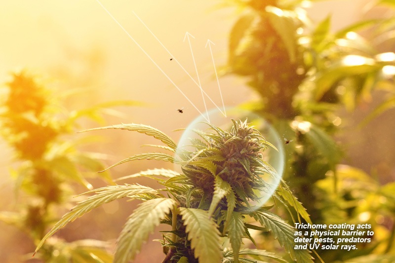 The trichome coating protects as a physical barrier