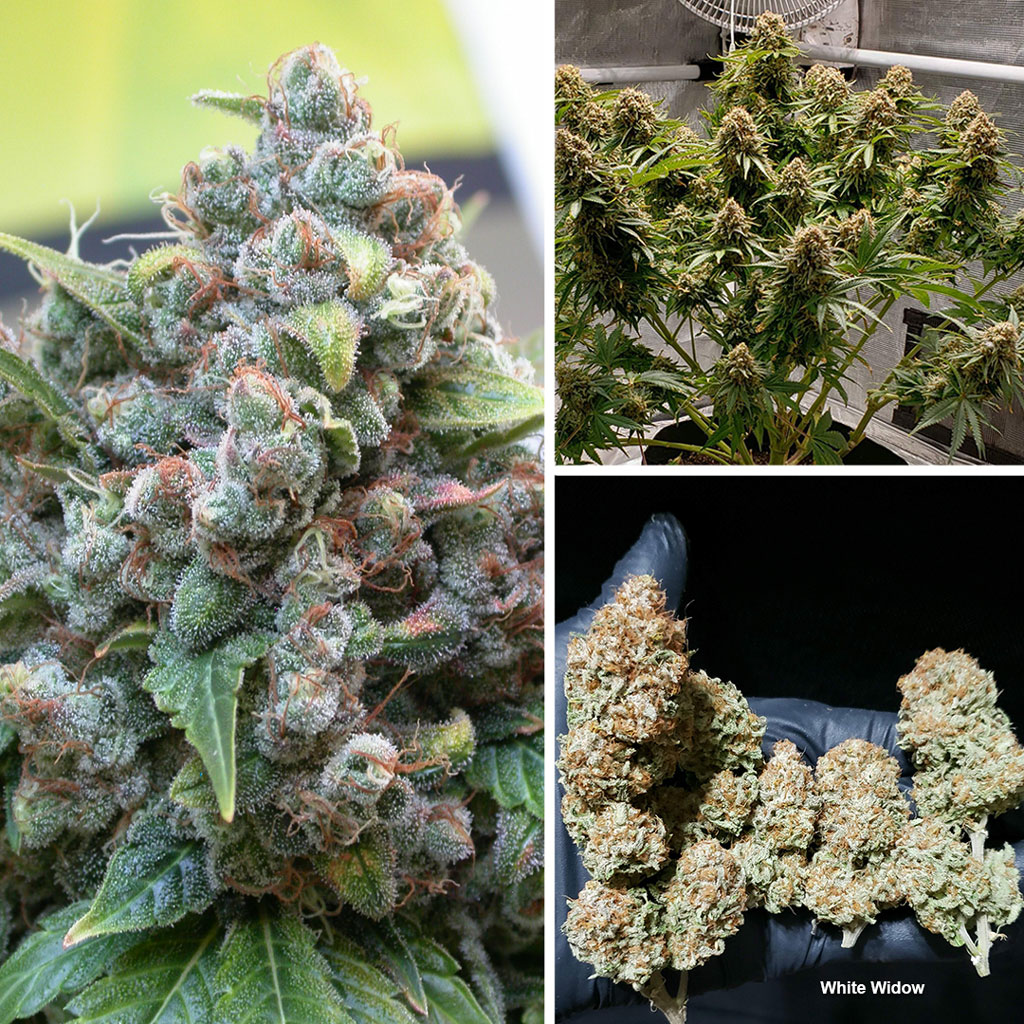 white-widow-classic-by-Dutch-Passion-seed-company-good-for-sog