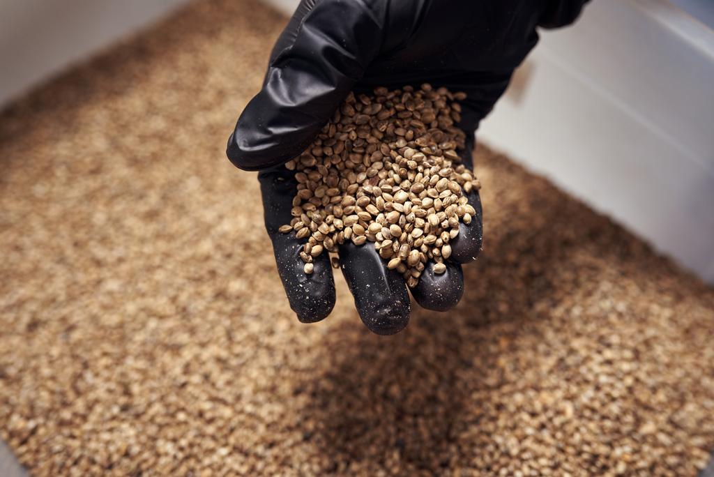 Cannabis-seed-by-bulk-where-to-buy-bulk-cannabis-seeds