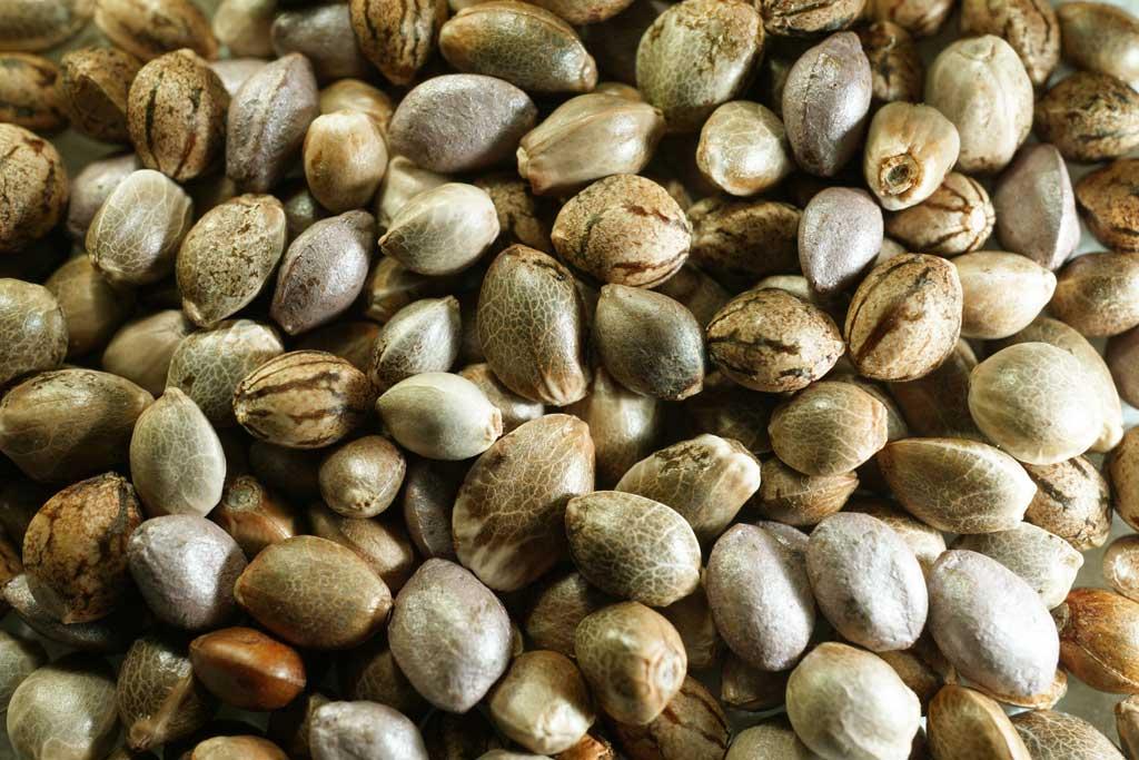 Dutch-passion-seeds-cannabis-varieties-strains-bulk