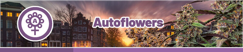 Buy autoflower cannabis seeds