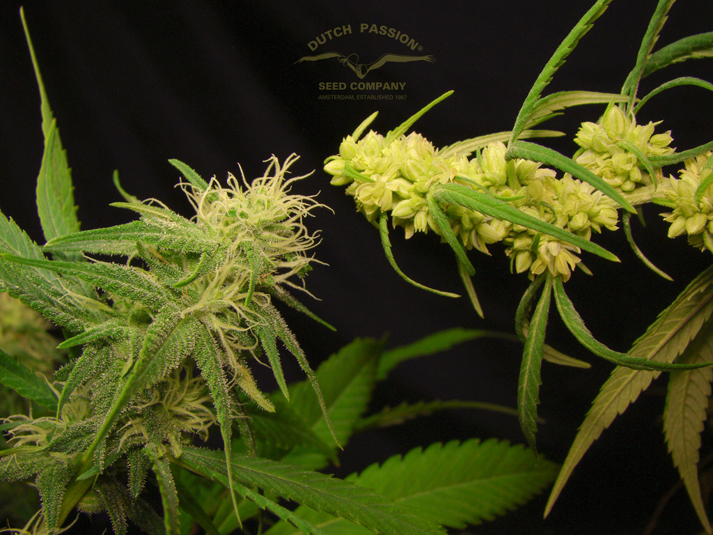 both-faces-of-desfran-male-and-female-bulk-seed-production
