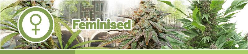 Koupit Feminizovaná Semena Marihuany